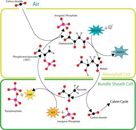 Ciencias de Joseleg: 3 INTERCAMBIO DE GASES EN PLANTAS