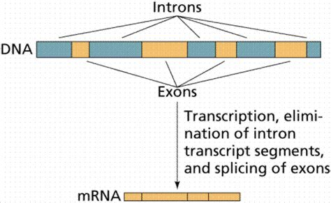 Ciencias de Joseleg: Exones e intrones