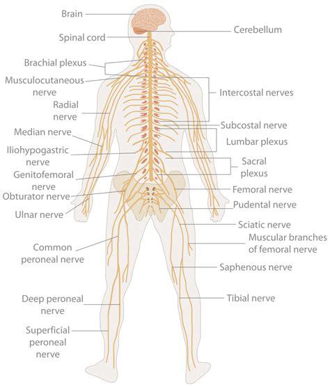 Ciencias de Joseleg: Partes del sistema nervioso humano