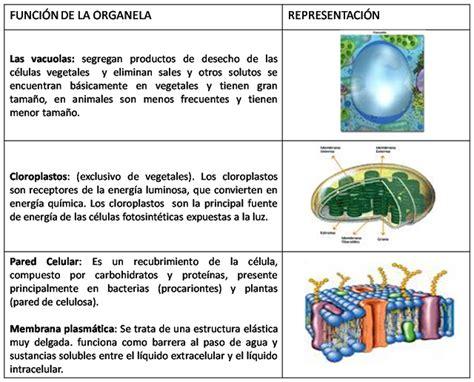 CIENCIAS NATURALES GRADO SEXTO: FUNCIONES DE LOS ORGANELOS ...