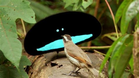 Científicos develan secreto que hace del ave del paraíso ...