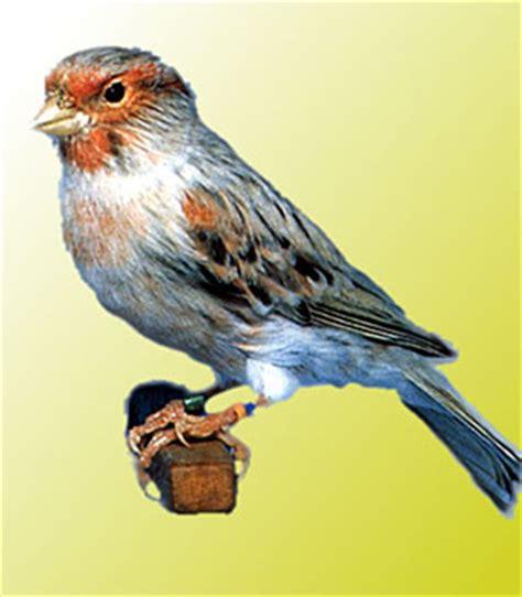 clases de aves: EL CANARIO