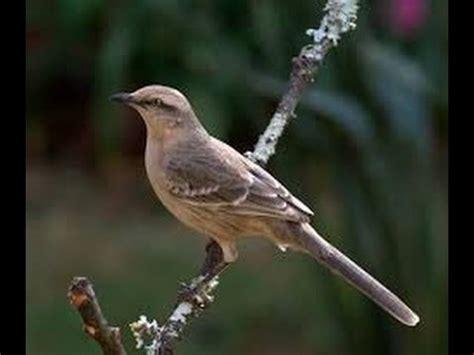 Clases de aves   La Calandria   YouTube