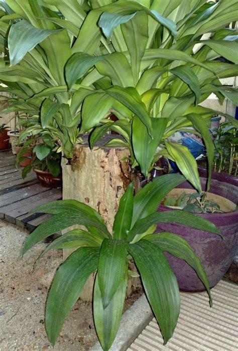 Clases De Plantas De Interior. Cocos Nucifera With Clases ...