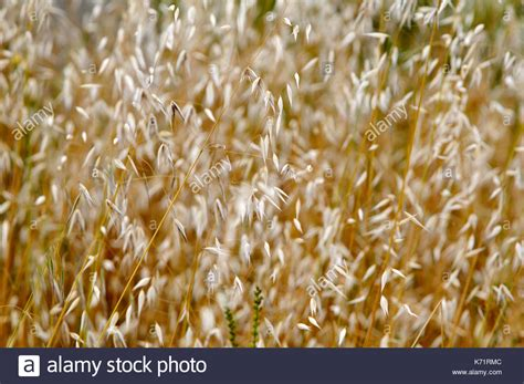 Close Up Wild Oat Avena Stock Photos & Close Up Wild Oat ...