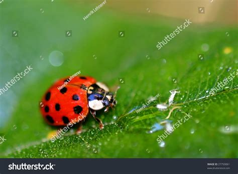 Coccinellids Or Ladybugs Are Small Insects And Are Found ...