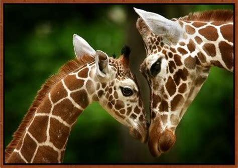 collectionphotos 2017: cute newborn baby giraffe pictures ...