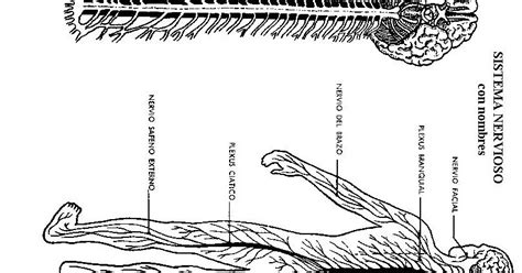 COLOREA TUS DIBUJOS: Sistema Nervioso para colorear