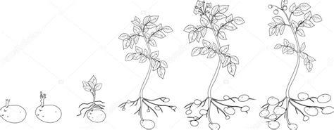 colorear con ciclo de crecimiento de plantas de papa ...