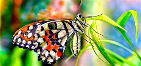 Colores de las mariposas - Tipos de coloración para su ...