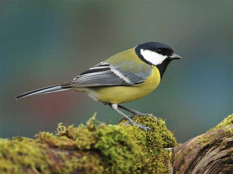 Common garden birds - Saga