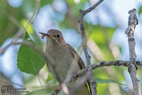 Common Nightingale  Luscinia megarhynchos