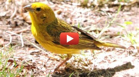 Como Criar Canário-da-terra - Casa dos Pássaros