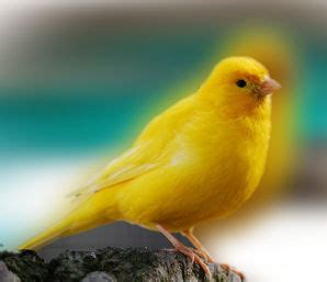 ¿Cómo criar canarios de la mejor manera?