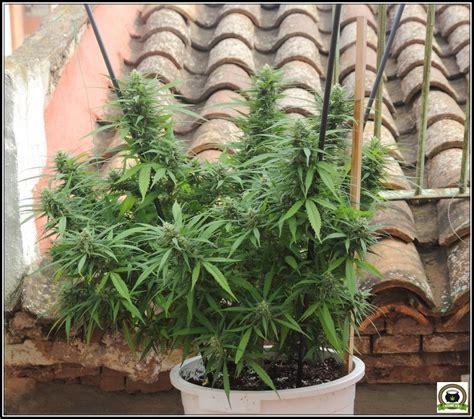 Como cultivar marihuana en exterior (diferentes situaciones)