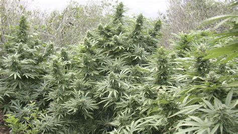 Cómo cultivar marihuana en huerto - La Huerta Blog