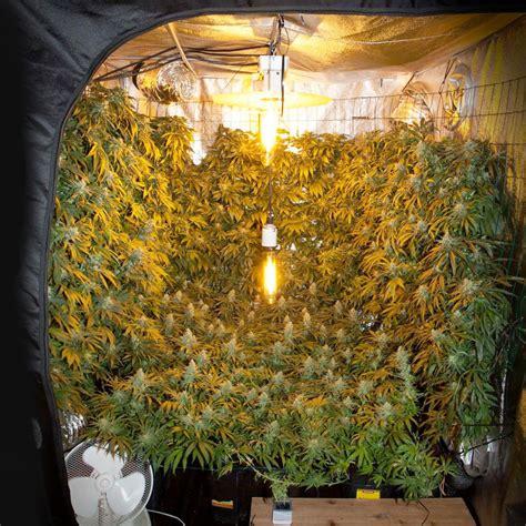 Cómo cultivar marihuana verticalmente – Weed Seed Shop