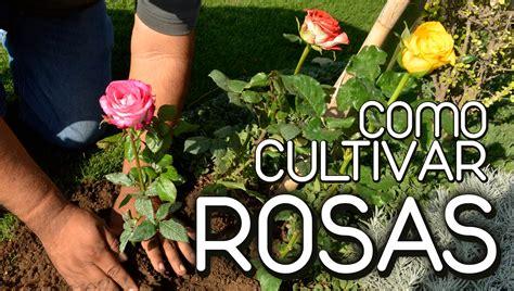como cultivar rosas   YouTube
