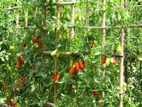 Cómo cultivar tomate cherry en vertical - Notas - La Bioguía