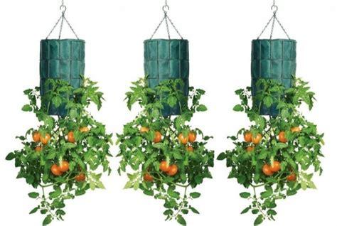 Cómo cultivar tomates al revés en botellas de plástico ...