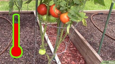 Cómo cultivar tomates en invernadero: 16 pasos