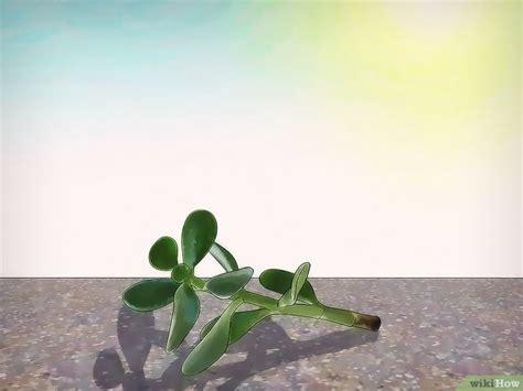 Cómo cultivar una planta de jade: 13 pasos (con fotos)
