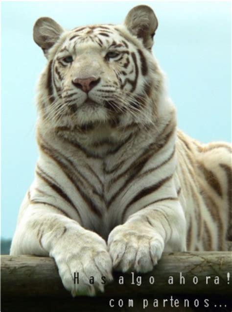 Cómo dibujar una cara de tigre » TIGREPEDIA