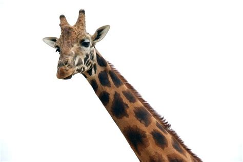 ¿Cómo duermen las jirafas?   Marcianos