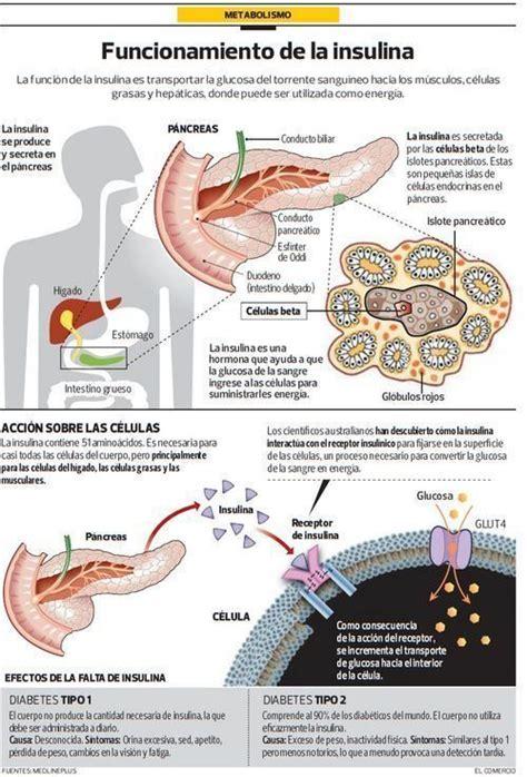 Como eliminar la grasa abdominal: Esta Hormona le Ayuda a ...