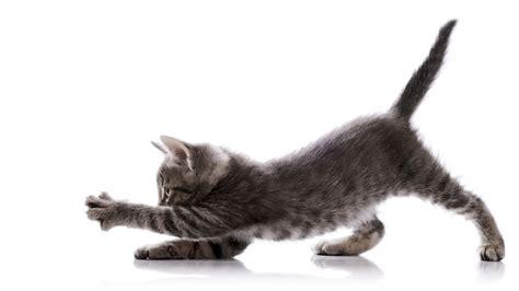 Como entender o que meu gato tem a dizer?