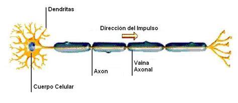 Como Funciona el Sistema Nervioso   La guía de Biología
