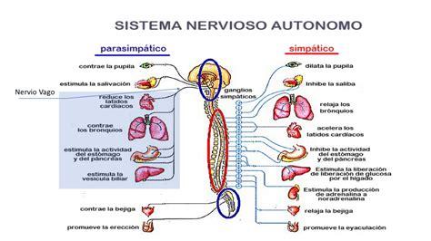 Como funciona el Sistema Nervioso Vegetativo   Fundación ...