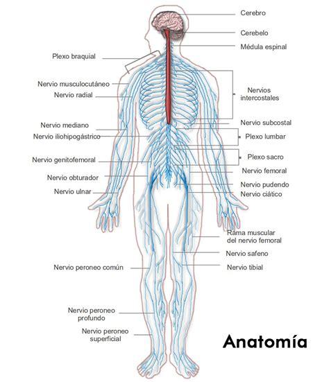 ¿Cómo Funciona El Sistema Nervioso? – Te Soprenderá ...
