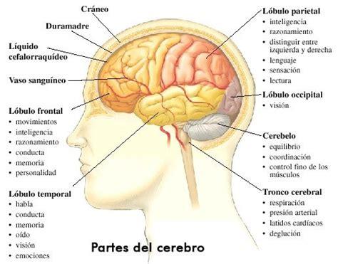 ¿Cómo Funciona El Sistema Nervioso?   Te Soprenderá ...