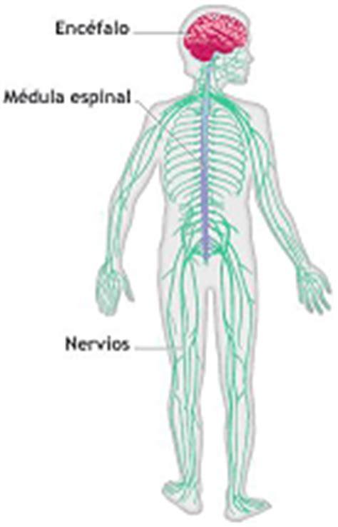 ¿Como funciona nuestro sistema nervioso?