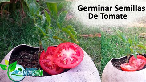 Como germinar semillas de tomate - YouTube