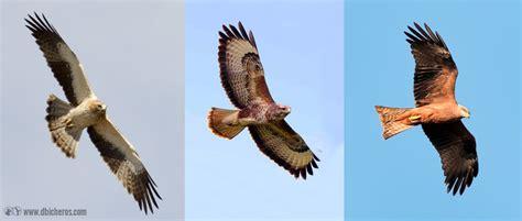 Cómo identificar 9 aves rapaces de España fácilmente ...