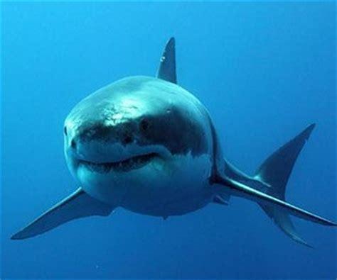 ¿Cómo paren los tiburones?   Comosereproducen.com