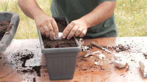 Cómo plantar ajos en macetas//Balcón comestible ...