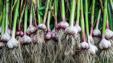Como plantar alho   Globo Rural | Como plantar