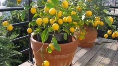 Como plantar maracujá como cultivar maracujá   YouTube