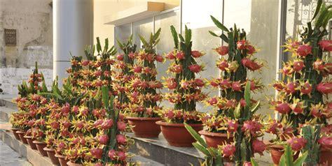 Como Plantar Pitaya em casa de forma fácil. Incrível!