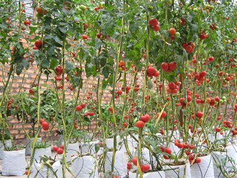 Como plantar tomate | Hortas.info