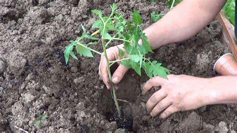 Como Plantar Tomates En El Huerto - Ecocosas
