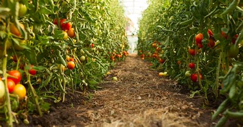 Cómo plantar tomates en la huerta - Hogarmania