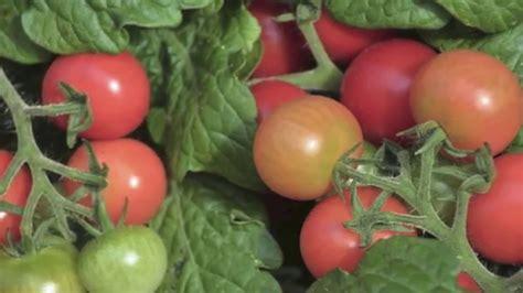Cómo plantar tomates en maceta - YouTube