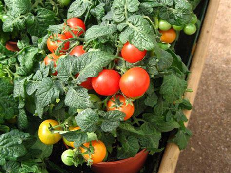 Como plantar tomates en una maceta