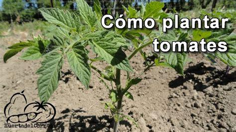 Cómo plantar tomates - YouTube