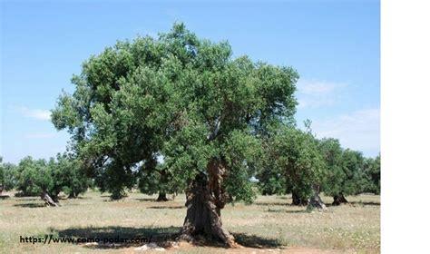 Como podar un olivo Beneficios de la PODA ¿Cuando y cómo ...
