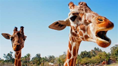 ¿Cómo se comunican las jirafas?